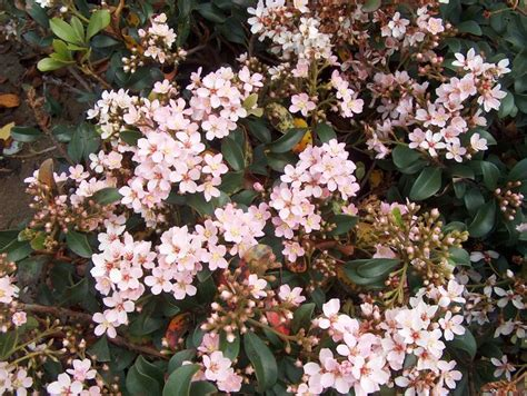 green shrub with pink flowers indian hawthorn raphiolepis indica evergreen small flowering shrub flower colours ranging