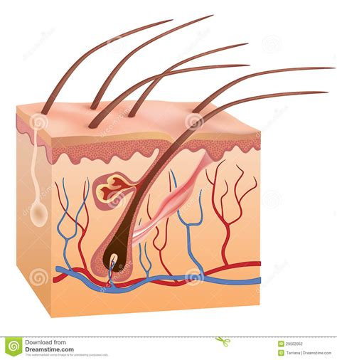 human skin and hair structure vector illustration stock