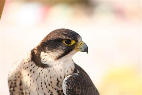 peregrine falcon wallpaper hd