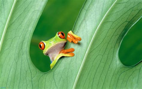 frog animals green frog hd wallpapers