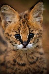 African Serval cat | Tumblr