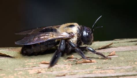 facts  carpenter bees animals momme