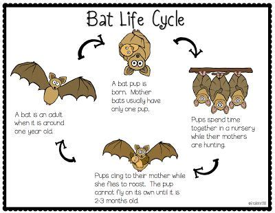 bat life cycle freebie october in kindergarten