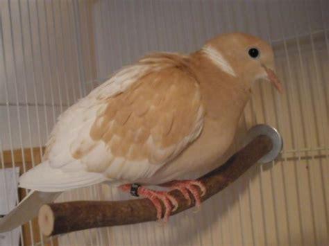 ringneck dove pics pigeon talk