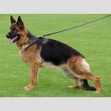 White German Shepherd Lab Mix Puppies   600 x 449 jpeg 38kB