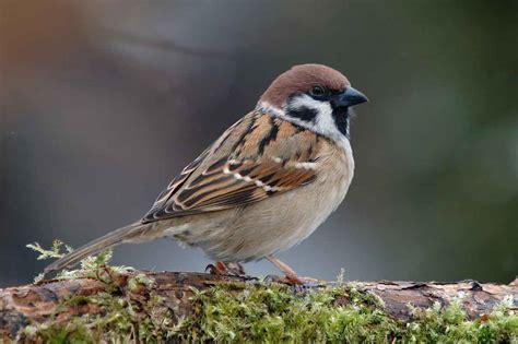 image gallery sparrow species
