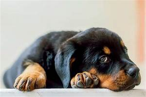 Destructive Chewing in Dogs & How to Fix It | RottweilerHQ.com