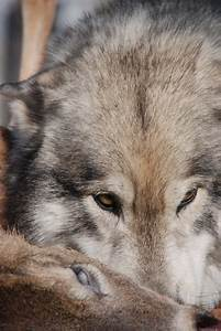 Howling Woods Farm – Wolf Hybrids – Nature Into Action