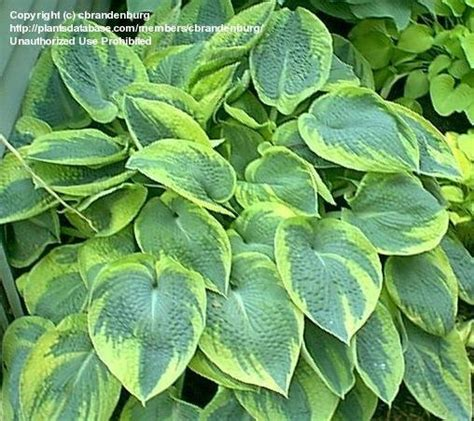 plantfiles pictures hosta christmas tree hosta by