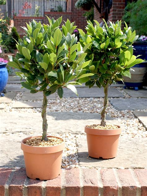 pair of 1 4 standard bay trees with plaited stems