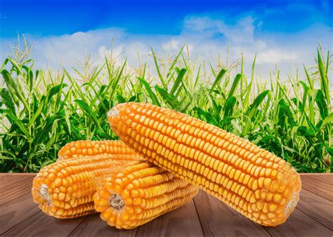 Yellow Corn | Maize exporters in Pakistan | Bulk Buy