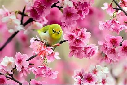 Spring Japan Wallpapers Flowers Bird Cherry Widescreen
