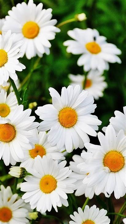 Daisy Flower Wallpapers Flowers Phone Mobile 1080