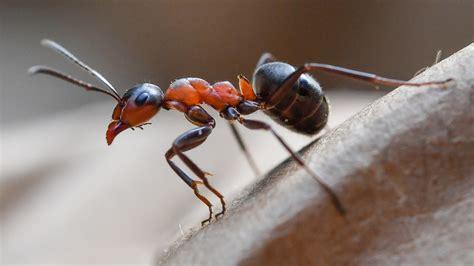was sind ameisen ameisen flei 223 ige arbeiterinnen und eiskalte m 246 rder wissen themen br de