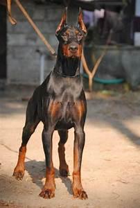 Doberman Pinscher Dog Breed Profile | Dog Breeds - All ...