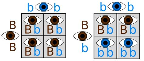 punnett square eye color jacob s sheep genetics and epigenetics in the torah