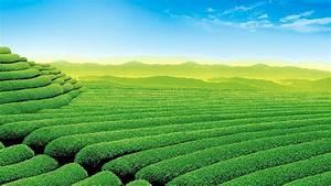 Tea field HD wallpaper