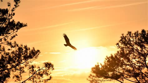 eagle flying  sky  sunset  wallpapers hd
