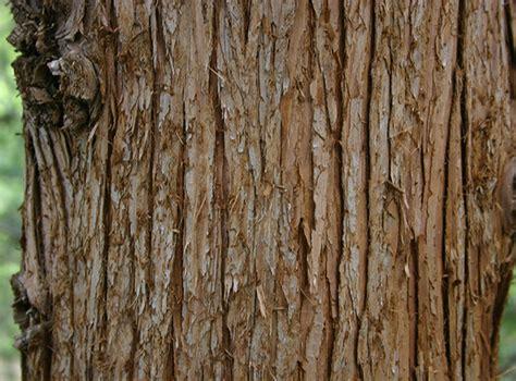 cypress tree bark ufei selectree a tree selection guide