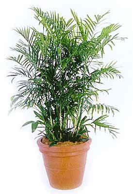 bamboo palmjpg