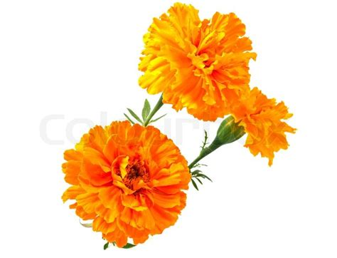 marigold flower   white background stock photo