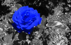Black and Blue Roses