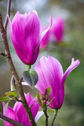 magnolia spectrum   royal horticultural society