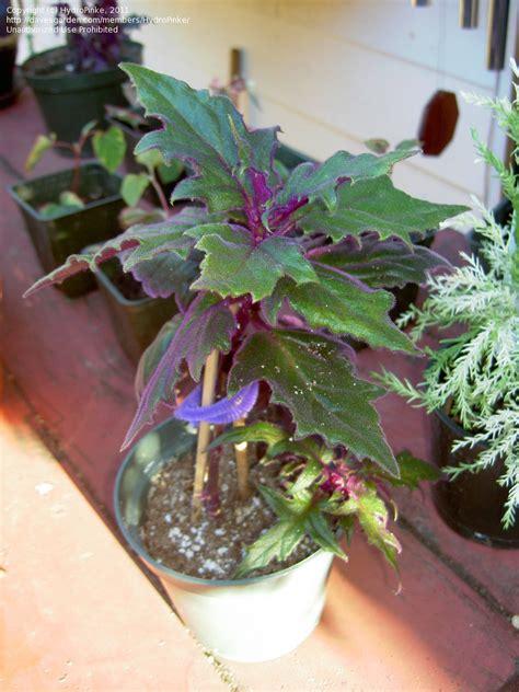 plantfiles pictures purple velvet plant purple passion