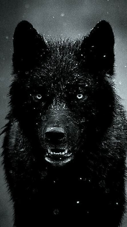Black Wallpaper Of Wolf by Black Wolf Wallpapers Free By Zedge