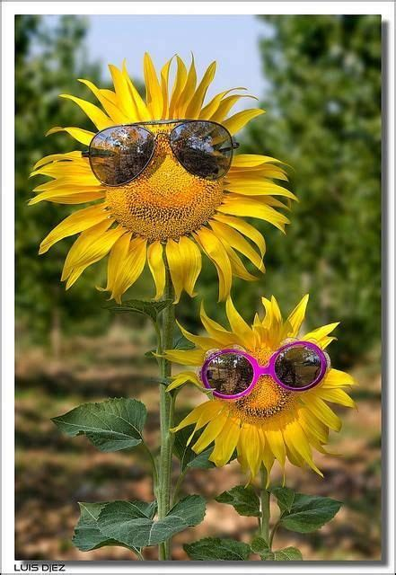 sunflowers  sunglasses funny cute spring flowers
