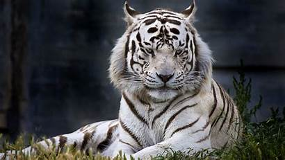 Tiger Pantalla Fondo