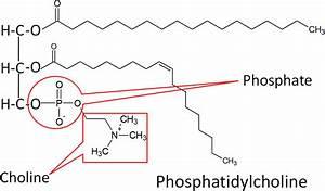 2.36 Phospholipids | Nutrition Flexbook  Phosphatidylcholine