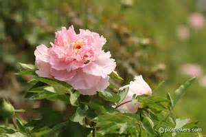 a peony pictures images 242
