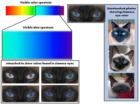 can cats see color or black and white black siamese eye color reference
