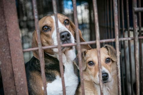 dogs rescued  south korean meat trade humane society