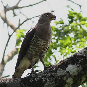 Southern Banded Snake Eagle (Circaetus fasciolatus) All ...