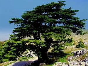 Restoring Lebanon's cedar forests | ShareAmerica