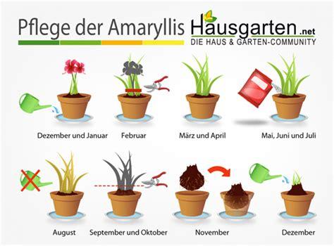 amaryllis pflege anleitung hausgartennet