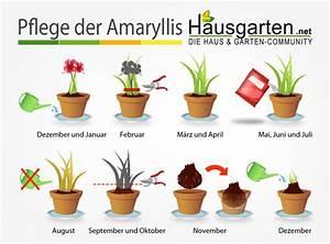 Wie Lange Braucht Rasen Zum Wachsen : amaryllis pflege anleitung ~ Buech-reservation.com Haus und Dekorationen