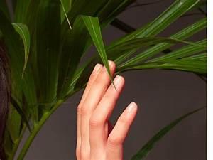 Kentia Palme Braune Blätter : kentia palme hat braune flecken woran kann 39 s liegen ~ Watch28wear.com Haus und Dekorationen