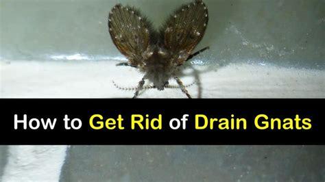 rid  drain gnats