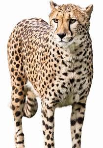 Meet A Cheetah