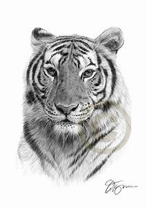 Pencil drawing of a Bengal Tiger by artist Gary Tymon