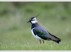 LapwingIreland National Bird Wallpapers9