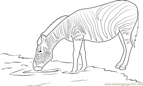 zebra drinking water coloring page  zebra coloring