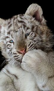 Cute White Tiger Cub, HD Animals, 4k Wallpapers, Images ...