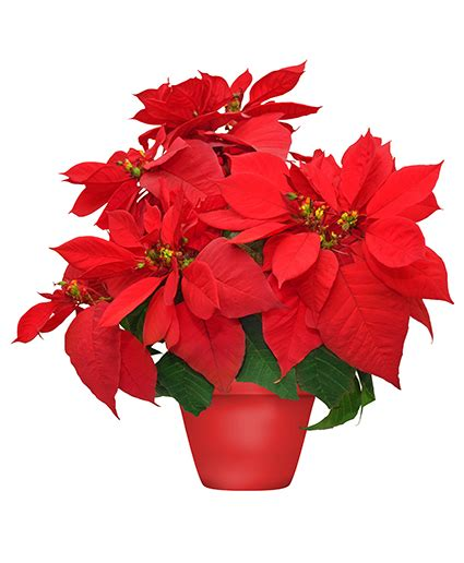 poinsettia plant images holiday poinsettia blooming plant all house plants