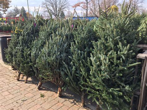 christmas tree smells like citrus scents of the season the oak leaf