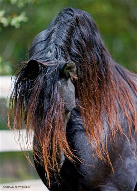 friesian black horse stallion dressage baroque horses