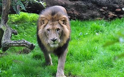 Lion Mane Muzzle King Beasts Hintergrundbilder Wildkatzen